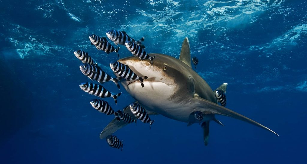 Diving in Egypt, at the Red Sea, we can find longimanus shark