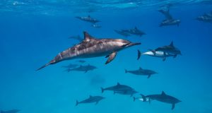 Dolphins in Sataya, Red Sea diving liveaboard