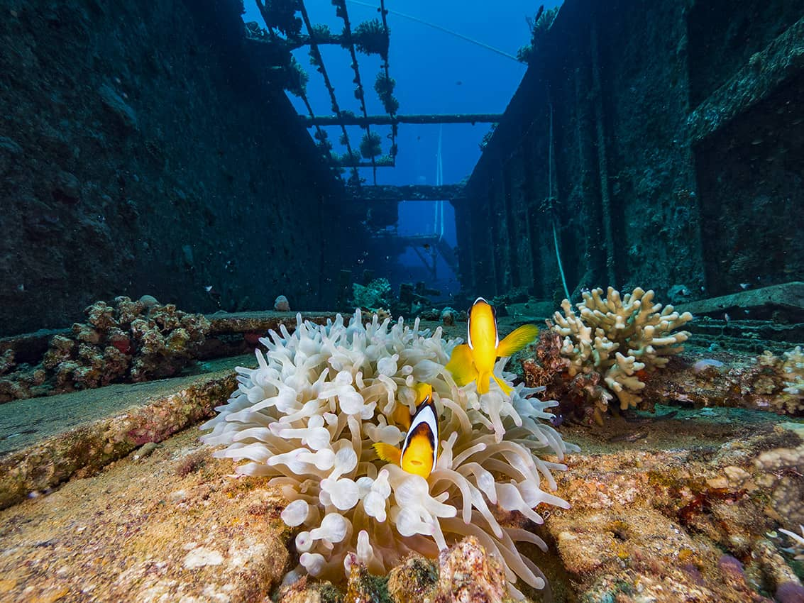Diving in the Red Sea, Salem Express wreck. Clown fish