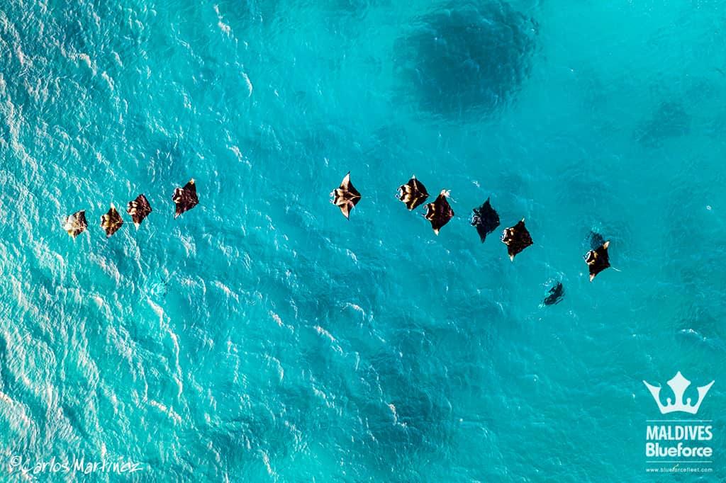 Mantas comiendo plancton desde el aire en Hanifaru