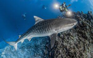 Diving in Maldives - tiger shark