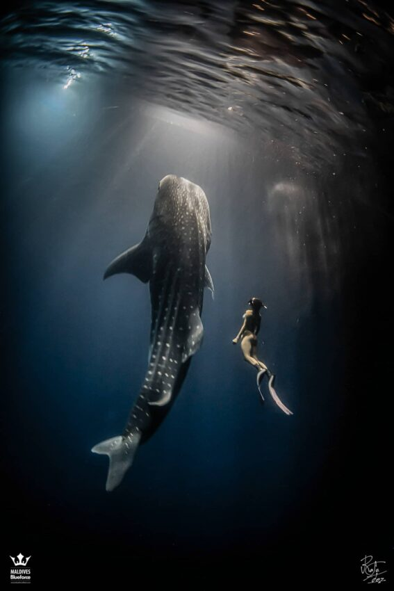 A freediver diving with a whaleshark by night