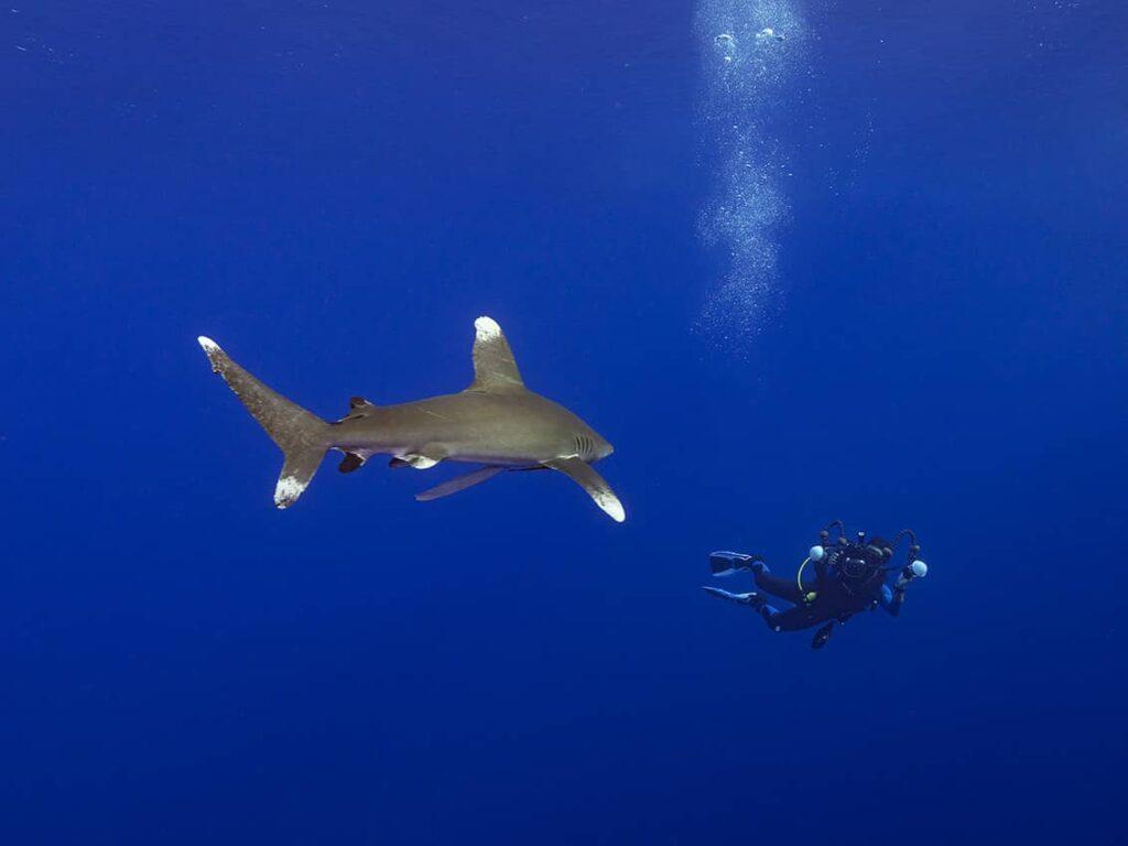 Underwater photographer diving with longimanus
