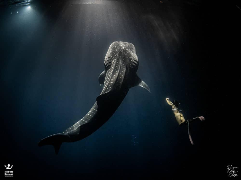 Tiburón ballena de Maldivas en snorkel de noche con modelo